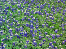 Field of Bluebonnets Royalty Free Stock Images