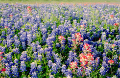 Field of Bluebonnets. On side of Highway Royalty Free Stock Image