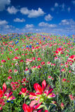 Field of Bluebonnets and Indian Paintbrush Wildflowers Stock Images