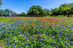 A Field of Bluebonnets and Indian Paintbrush wildflowers Near a Wooden Fence. A Beautiful Field Blanketed with the Famous Bright Blue Texas Bluebonnet and Bright Royalty Free Stock Image