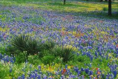 Field of Bluebonnets and Paintbrush Stock Photo