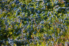 Field of Bluesberries Royalty Free Stock Photography