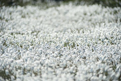 Field of bog cotton flowers Stock Image