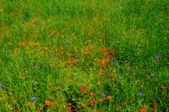 Cornflowers and poppies in a field bouquet royalty free stock images