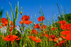 Poppies in the field. A field bouquet in the wild, lots of poppies in high grass royalty free stock images