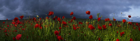 Field with bright blooming poppies Royalty Free Stock Photography