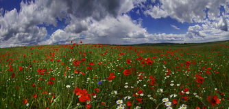 Field with bright blooming poppies Royalty Free Stock Photos