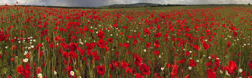 Field with bright blooming poppies Stock Photography