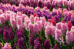 Field of bright colorful pink and purple hyacinths, Netherlands Stock Photography