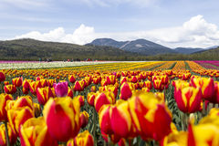 Field of bright colorful tulips with mountains in background. Stock Photos