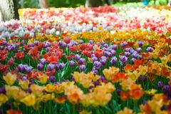 Field of bright multi-colored tulips. Spring and gardening stock photo