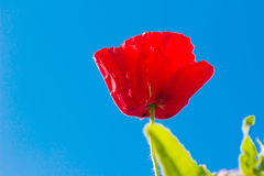 Field of bright red corn poppy Stock Image