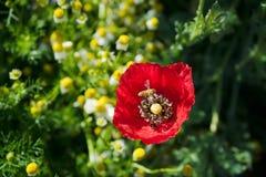 Field of bright red corn poppy flower Royalty Free Stock Photo