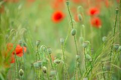 Field of bright red corn poppy flowers Stock Images