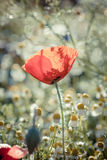 Field of bright red corn poppy flowers Royalty Free Stock Photo