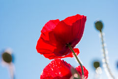 Field of bright red corn poppy flowers Stock Image