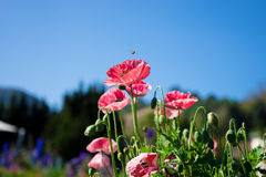 Field of bright red corn poppy flowers Royalty Free Stock Photography