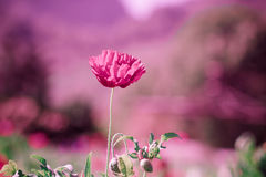Field of bright red corn poppy flowers in spring Royalty Free Stock Photography