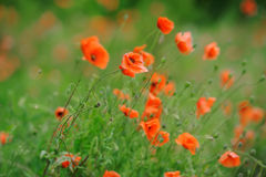 Field of bright red corn poppy flowers Royalty Free Stock Photos