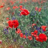 Field of bright red corn poppy flowers Stock Photo