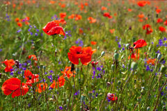 Field of bright red corn poppy flowers Royalty Free Stock Images
