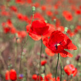 Field of bright red corn poppy flowers Stock Photography