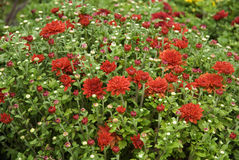Field of bright red mums Stock Photo