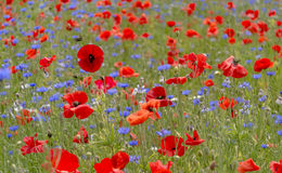 A field of bright, red poppies and wild flowers Royalty Free Stock Photo