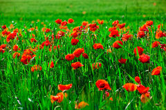 Field of bright red  poppy flowers in spring Royalty Free Stock Images