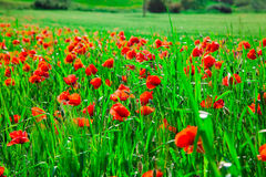 Field of bright red  poppy flowers in spring Royalty Free Stock Photo