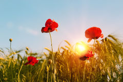 Field of bright red poppy flowers in spring. Royalty Free Stock Image