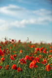 Field of bright red poppy flowers in summer Stock Images