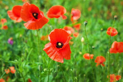Field of bright red poppy flowers Royalty Free Stock Images