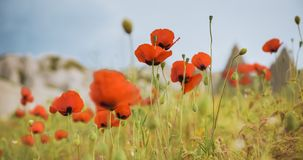 Field of bright red poppy flowers in summer Stock Image