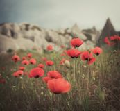 Field of bright red poppy flowers in summer Stock Photography