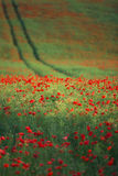 Field of bright red poppy flowers in the sunny summer day Royalty Free Stock Photos