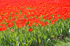 Field of bright red tulips Royalty Free Stock Photo