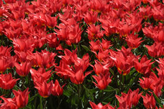 Field of Bright Red Tulips in The Netherlands. Field filled with many bright red tulips in The Netherlands Royalty Free Stock Images