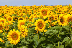 Field of Bright Sunflowers Royalty Free Stock Images