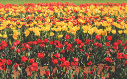Field of bright tulips Royalty Free Stock Photography