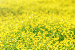 A field of bright yellow flowers Stock Photography