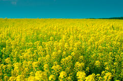 A field of bright yellow flowers Royalty Free Stock Images