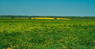 A field of bright yellow flowers Royalty Free Stock Photos