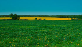 A field of bright yellow flowers Stock Photo
