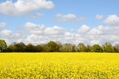 Field of bright yellow oilseed rape Stock Image