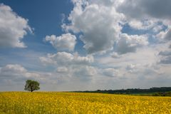 Rapseed oil field with dramtatic blue cloudy sky and single oak tree stock photography