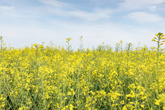 Field of bright yellow rapeseed in spring. Rapeseed oil seed rap Royalty Free Stock Image
