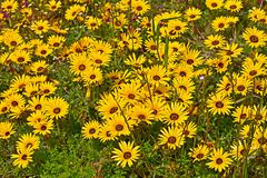 Field of bright yellow spring wildflowers royalty free stock photos