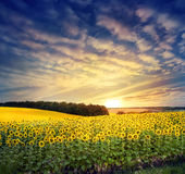 Field with a bright yellow sunflower Royalty Free Stock Images