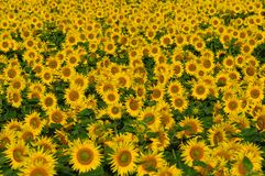 Field with bright yellow sunflowers. Royalty Free Stock Photo